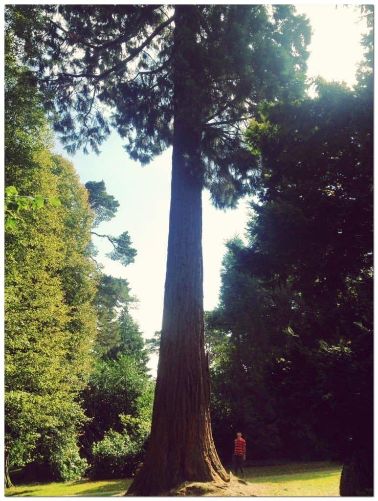 Giant Redwood at National Trust's Nymans in Sussex My Travel Monkey