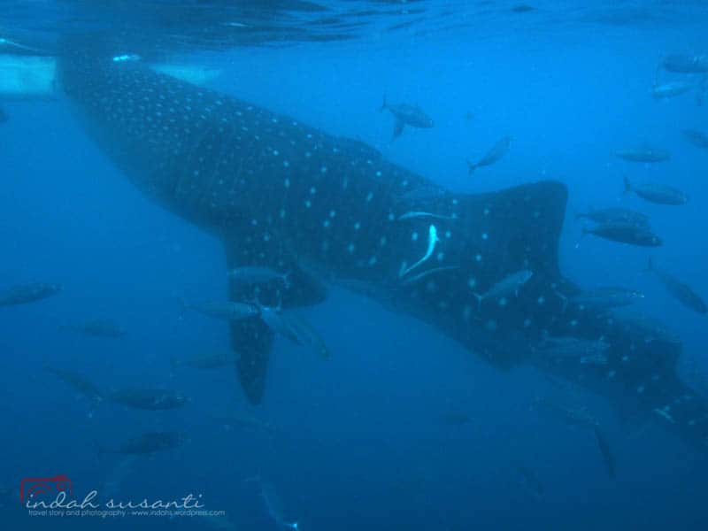 Whale Sharks by Indah Susanti