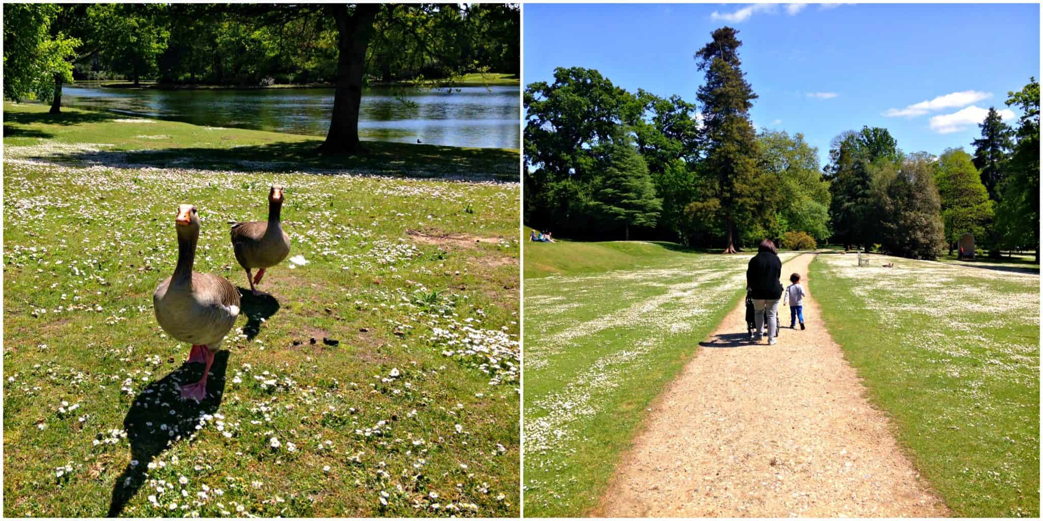 The ducks at National Trust's Claremont Gardens in Surrey My Travel Monkey