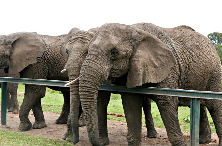 Walking With Elephants at Kynsna Elephant Park, South Africa